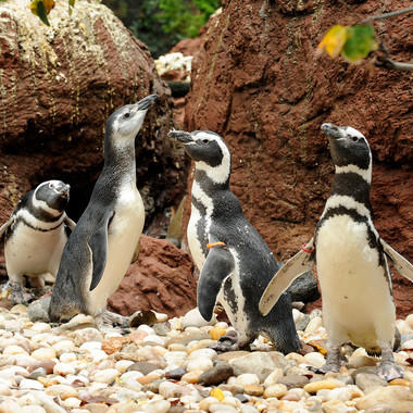 BZ Penguin Feedings: Magellanic Penguins