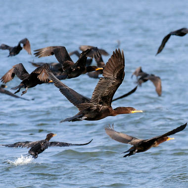 NYA Crested Cormorants