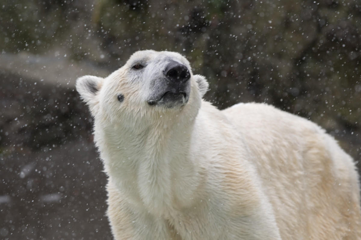 8f1ohm1yey julie larsen maher 8425 polar bear in snow bz 03 10 17