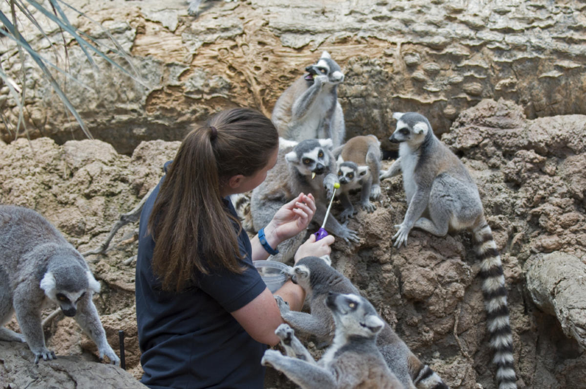 8sj0sbr3mn julie larsen maher 1403 tassler heather keeper with ringtailed lemurs bz 06 30 16