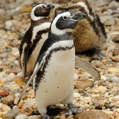 BZ Aquatic Birds: Magellanic Penguins