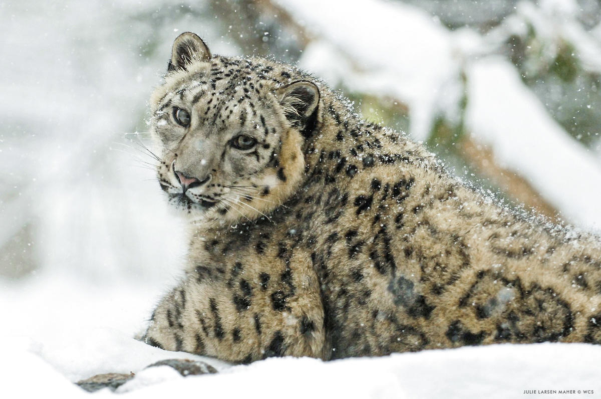 Owrj81gbn julie larsen maher 1474 snow leopard in snow 02 22 08 hr