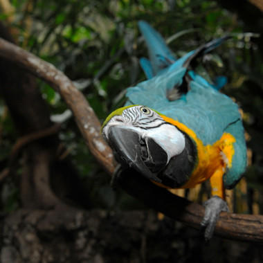 CPZ Blue and Yellow Macaw