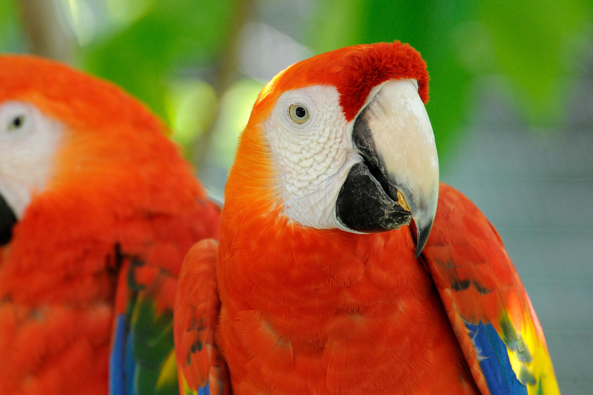 1gh9izvfzp julie larsen maher 2021 scarlet macaw portrait close up view avi qz 07 25 12 hr