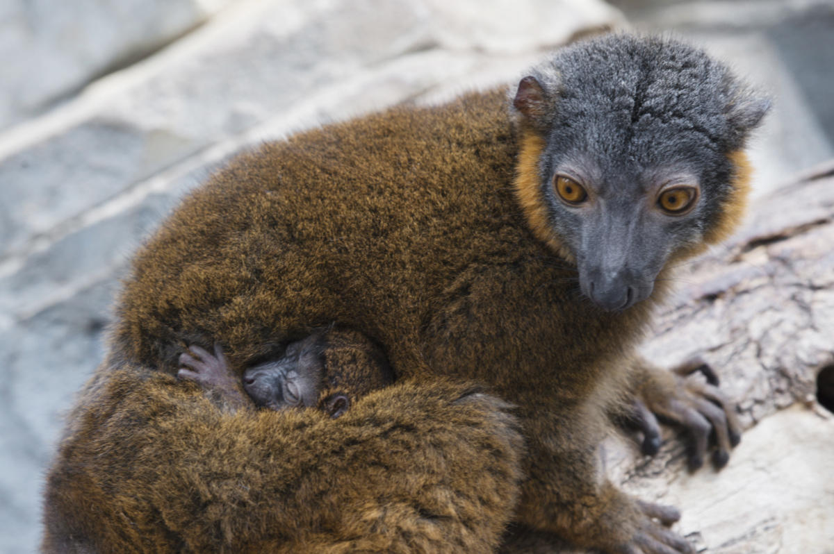 2pa0nr5wtb julie larsen maher 8991 collared lemur and baby mad bz 04 14 16