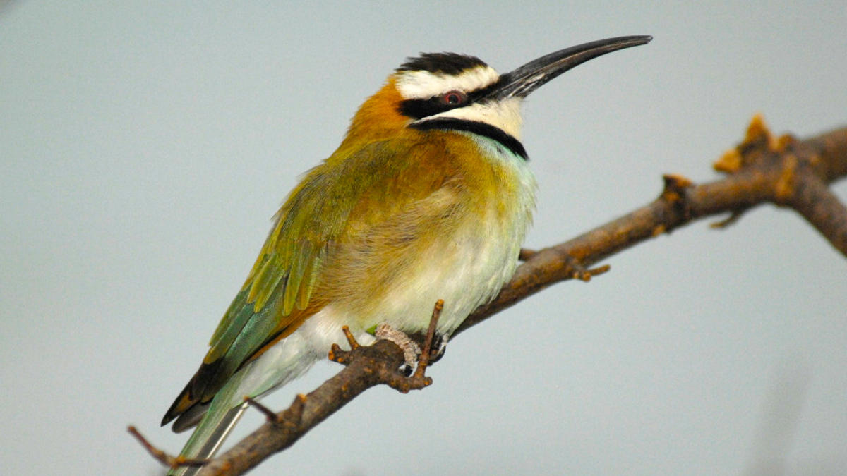3md2zncdut julie larsen maher 8185 white throated bee eater 12 13 06