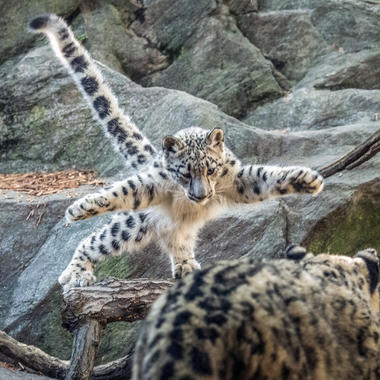 BZ snow leopard khyber jumping on exhibit