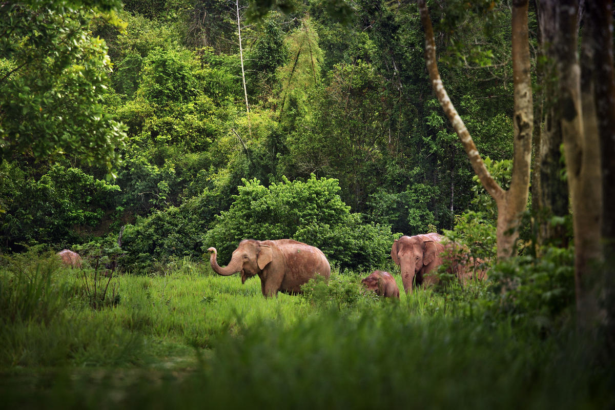 2gm595wfis asian elephant family