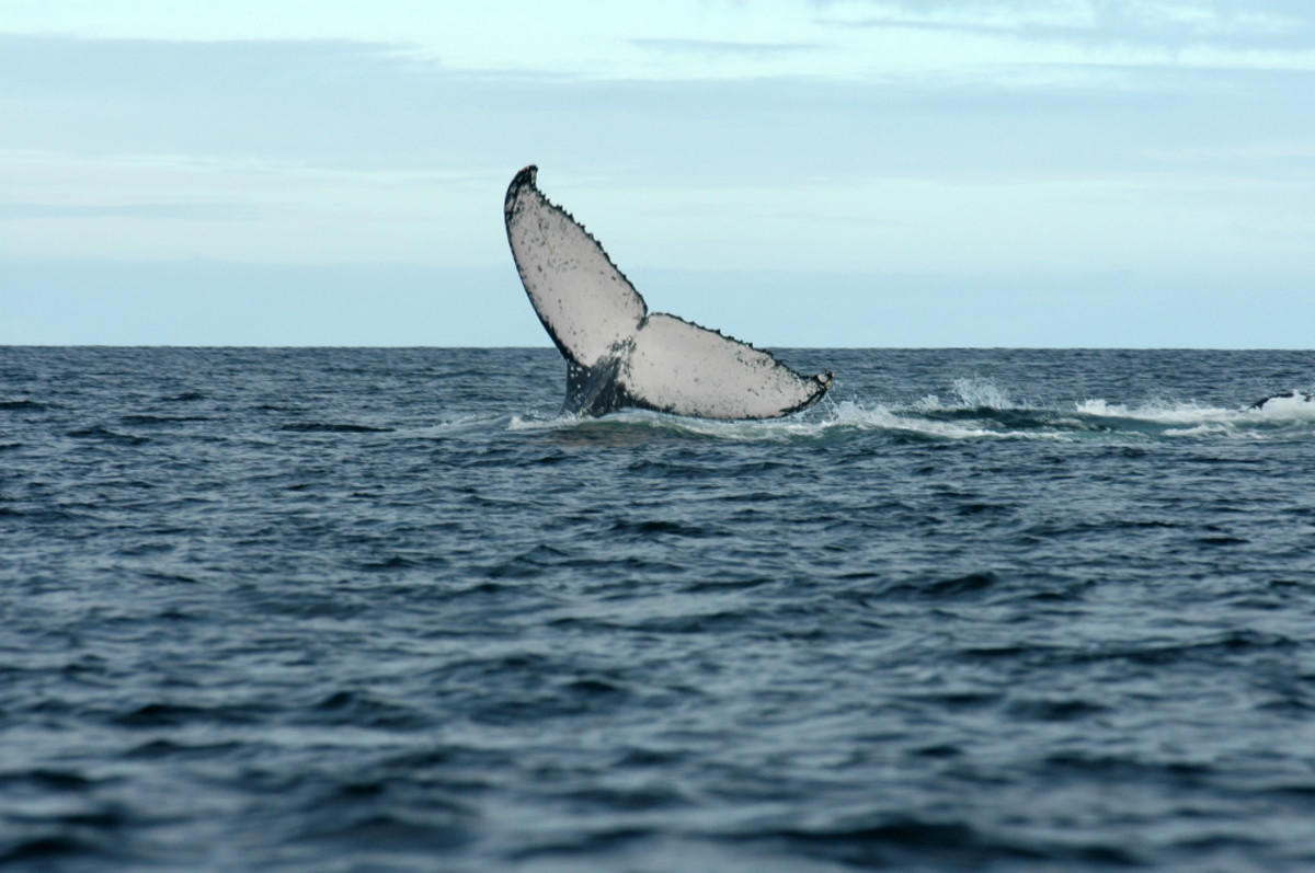 3bpt8is5p2 julie larsen maher 0570 humpback whale in antongil bay mdg 07 15 04