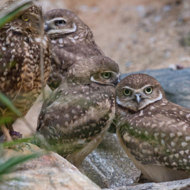 BZ Burrowing Owl with Owlets