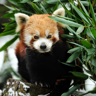 BZ Red Panda in snow