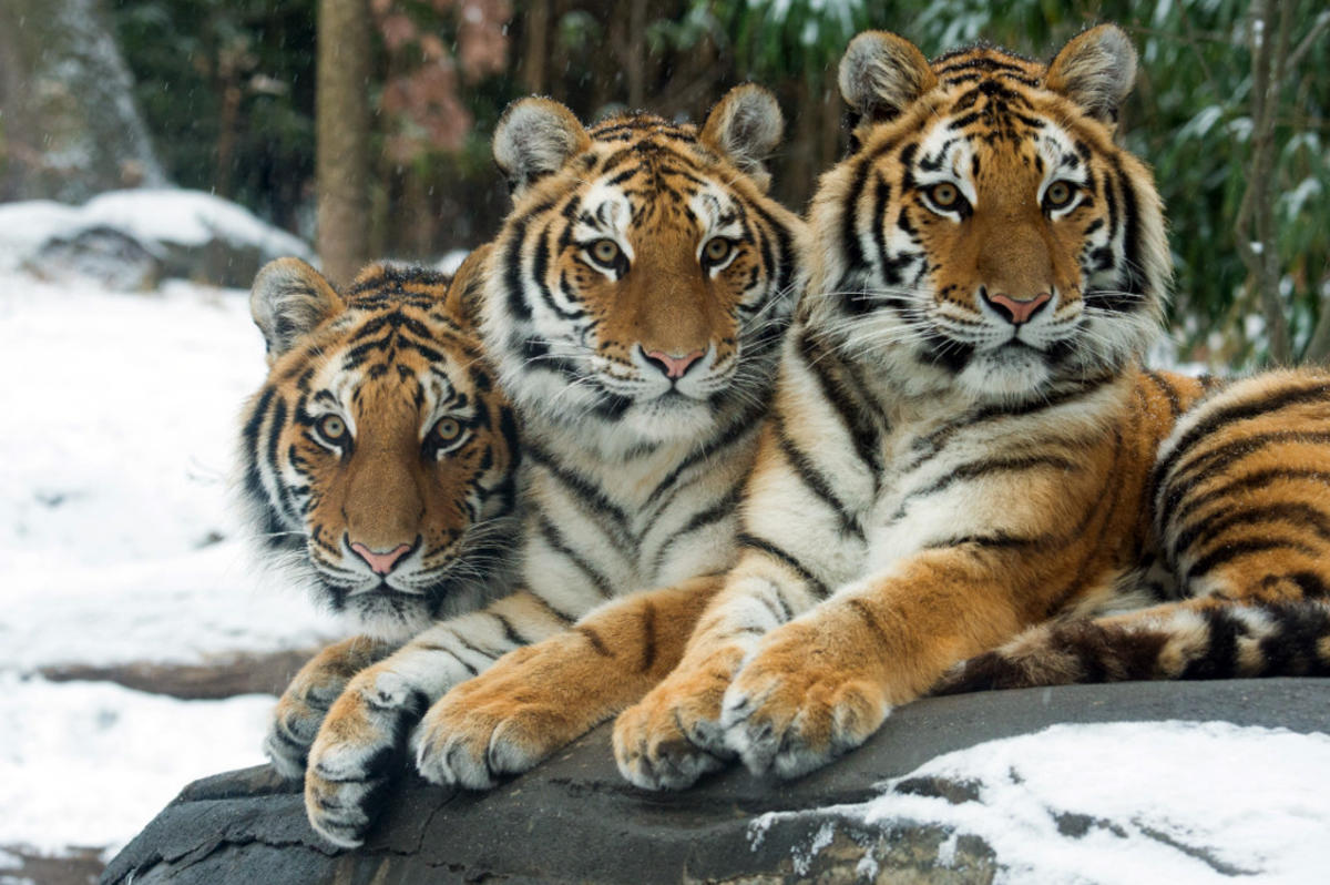 9nhsdq9k5 julie larsen maher 7917 amur tigers in snow tm bz 12 17 13