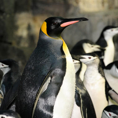CPZ Penguin Feedings: King Penguins - card