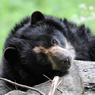 QZ Animal Trail: Andean Bear - card