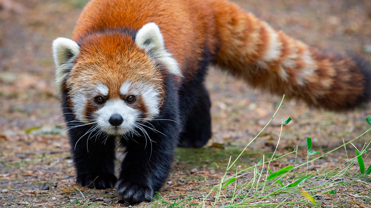 1qiypm6hga ppz hero red panda 2020