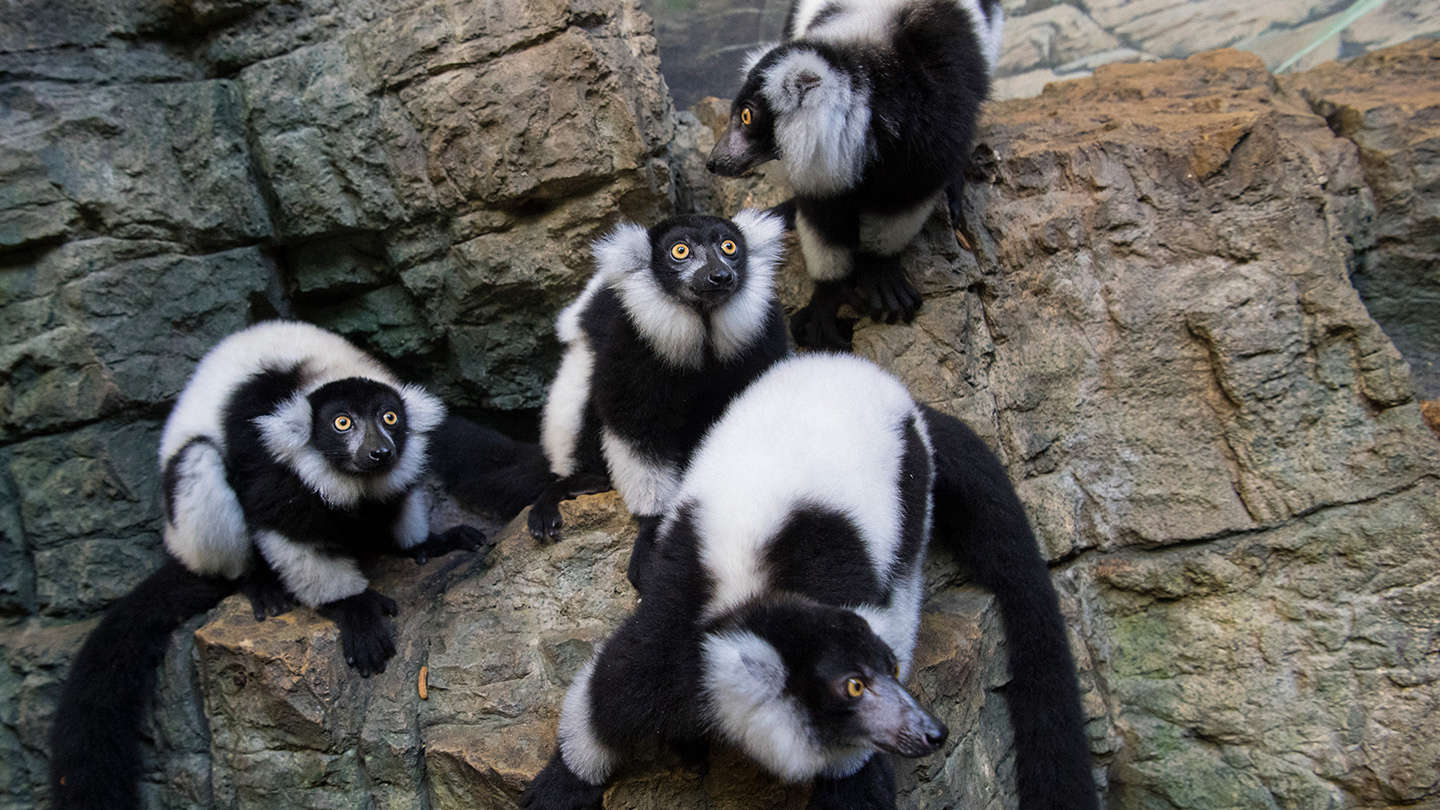Black and White Lemurs