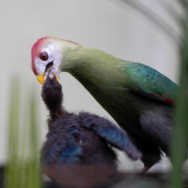 WCS red crested Turaco and chick at BZ