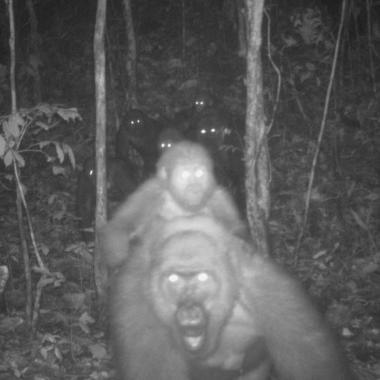 WCS Cross River gorilla camera trap