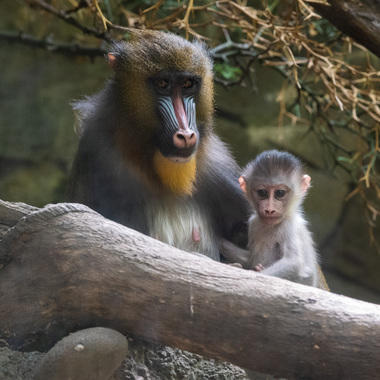 WCS Mandrill and babies at BZ