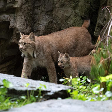 WCS Canada lynx cub and kitten at Queens Zoo