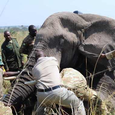 WCS elephant collaring in Uganda