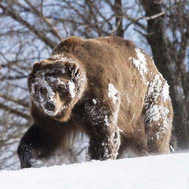 WCS bear in snow at BZ