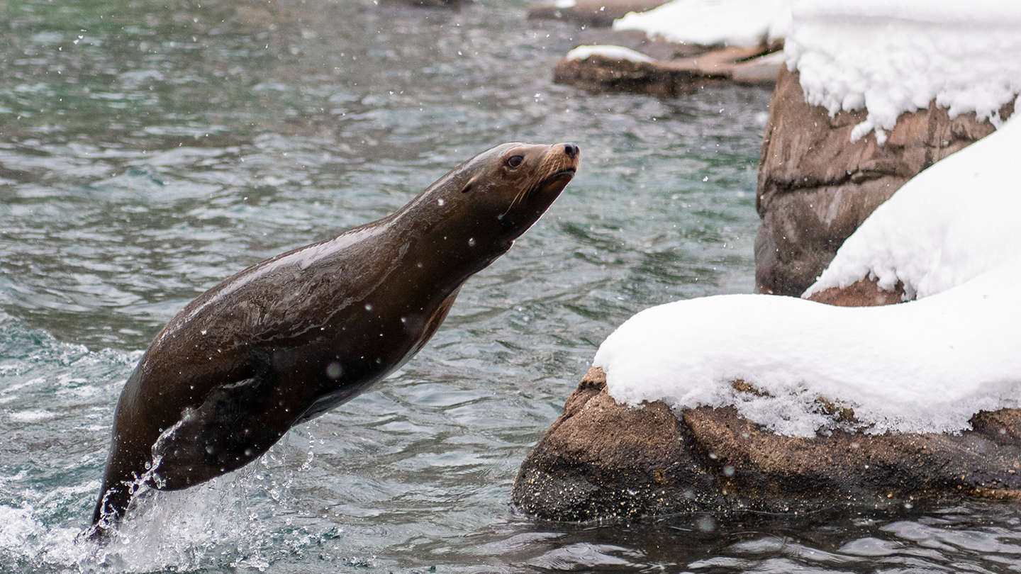Sea Lion in the Snow